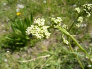 Flower head of what might be Edible Valerian, despite the name still toxic unless properly prepared