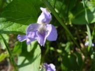 Blue Violet on Mill Creek