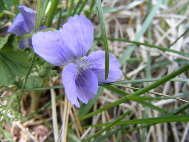 Small violet, hidden in the grass, on Mill Creek