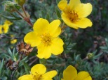 A shrubby cinquefoil, possibly Dasiphora fruticosa, near the northern end of Bureau of Land Management Road 3115