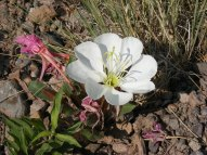 Oenothera spp., part of Onograceae, on the Williams Creek Trail