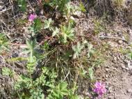 Geranium caespitosum, in Geraniaceae, on the Williams Creek Trail
