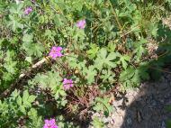 The Wild Purple Geranium, a fine find on the Williams Creek Trail