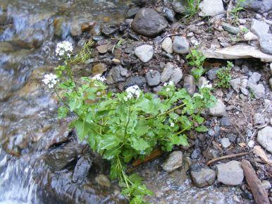 Perhaps Heart-leaf Watercress, on Williams Creek