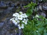 Cardamine cordifolia, perhaps, on Williams Creek