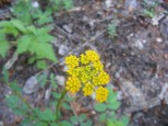 This flower is most likely in the Parsley Family, on the Williams Creek Trail