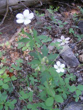 Perhaps Geranium richardsonii on the Williams Creek Trail