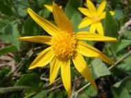 Maybe Arnica, on the Williams Creek Trail