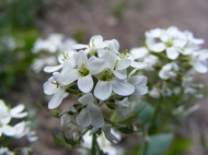 Hiking on the Williams Creek Trail, this diminutive white flower inspires in its delicate beauty
