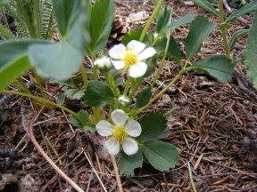Probably Fragaria virginiana, on the Williams Creek Trail