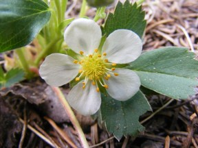 This Virginia Strawberry grows in abundance in the Rocky Mountains of Colorado