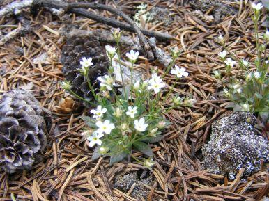 Diminutive primrose on the Williams Creek Trail