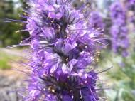 Phacelia sericea on the Williams Creek Trail