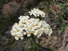 Achillea millefolium, part of Asteraceae, on the Williams Creek Trail