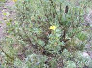 Dasiphora fruticosa, possibly, if so in Rosaceae