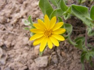 Third mystery yellow Aster, beautiful in closeup