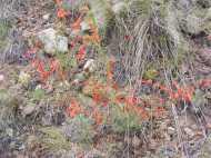 Ipomopsis aggregata on the Williams Creek Trail