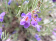 Closeup of this small beautiful purple flower, maybe a Penstemon spp.