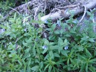 Mertensia spp., part of Boraginaceae, have the blue flowers, the white is a species in Apiaceae; on Lamphier Creek in the Fossil Ridge Wilderness