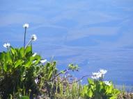 Marsh Marigolds on the shore of Lamphier Lake