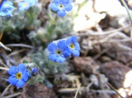 An Alpine Forget-Me-Not south of San Luis Peak