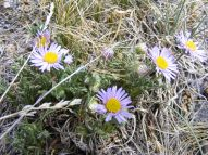 A small purple aster growing south of San Luis Peak
