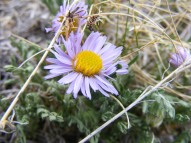 Closeup of small purple aster