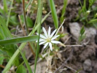 Maybe Stellaria longipes, but I'm not sure, but growing on Cochetopa Creek