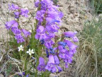 A species of purple Penstemon on Cochetopa Creek, the white flowers might belong in the Pink Family