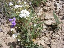 An umbra of Yarrow, with purple Penstemon and, lower, white Pink Family flowers, on Cochetopa Creek