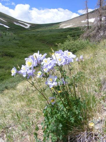 Columbine below the divide between Cochetopa and Spring Creeks
