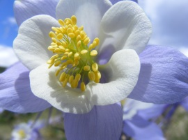 A closeup of the columbine, the state flower of Colorado