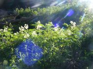Sunlight streaming over what might be elderberries