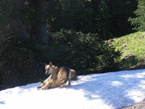 Leah and Draco frolic on a patch of snow below Double Top