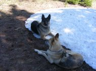 Draco and Leah resting on a patch of snow along the Double Top Trail No. 405