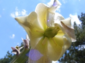 Seldom seen interior of a Yucca flower