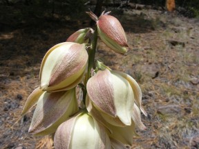 Yucca flowers on East Middle Creek
