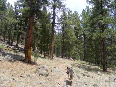 Leah and Draco on East Middle Trail No. 767, through a ponderosa forest