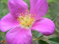A Wild Rose on East Middle Creek