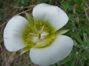 A Mariposa Lily on East Middle Creek