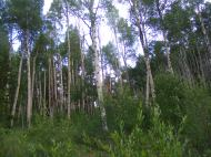 An aspen forest on East Middle Creek