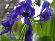 Monkshood on East Middle Creek, part of the Buttercup Family