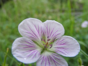 A wild geranium on East Middle Creek