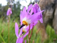 Dodecatheon spp. on East Middle Creek