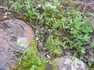 White flowers of maybe a Parsley Family plant on Indian Creek