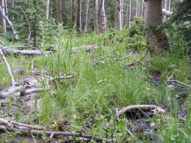 Within an aspen forest, a small spring on Indian Creek