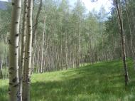 A gorgeous meadow within an aspen forest, on Indian Creek