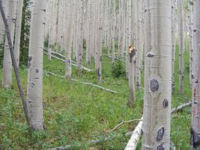Green understory mixed with the white boles of aspen, on Indian Creek