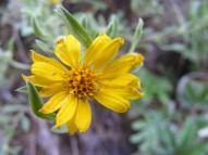 Pretty yellow Aster Family flower, growing along Gunnison National Forest Road 730.1B
