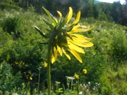 Behind a sunflower, on Ohio Creek
